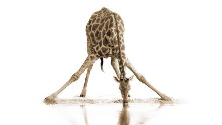 Drinkende Giraffe schilderij
