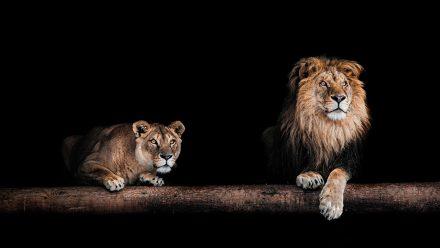 Twee Leeuwen schilderij